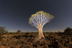 Quiver Tree Forest - Nambia Stock Image
