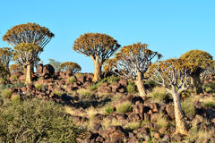 Quiver tree forest,Namibia. Beautiful tree-aloe in quiver tree forest near Ketmashop in Namibia Royalty Free Stock Photos