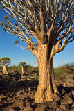 Quiver Tree Forest Namibia Royalty Free Stock Photo