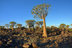 Quiver Tree Forest Namibia Royalty Free Stock Image