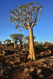 Quiver Tree Forest Namibia Royalty Free Stock Photography