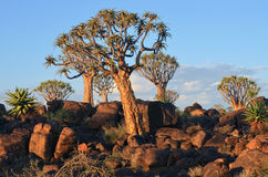 Quiver Tree Forest Namibia Stock Image