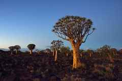 Quiver Tree Forest Namibia Stock Photos