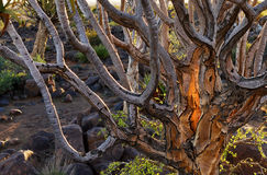 Quiver Tree Forest Namibia Stock Images