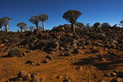 Quiver Tree Forest. Night shot of the Mystical Quiver Tree Forest outside of Keetmanshoop, Namibia under moon light at the stars night sky Royalty Free Stock Photo