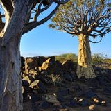 Quiver Tree Forest Namibia Royalty Free Stock Images