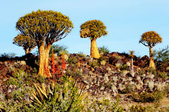 Quiver Tree Forest on a Rocky Hill, Late Afternoon, Namibia Royalty Free Stock Photo