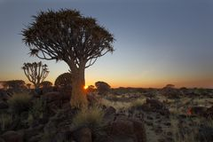 Quiver Tree Forest Sunrise Royalty Free Stock Images