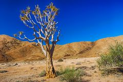 Quiver tree in front of arid hills. Quiver tree, also known as kokerboom, in arid desert in front of dry hills in South Africa Royalty Free Stock Images