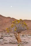 Quiver Tree in full bloom under the full moon Stock Photography