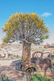 Quiver tree growing through the bonnet of an old car Royalty Free Stock Image