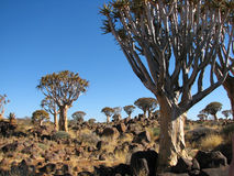 Quiver tree or Kokerboom forest. At Keetmanshoop, Namibia Royalty Free Stock Photo