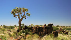 Quiver tree or kokerboom forest, Namibia Royalty Free Stock Images
