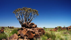 Quiver tree or kokerboom forest Stock Photography