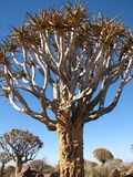 Quiver tree or Kokerboom Royalty Free Stock Photography