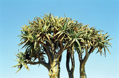 Quiver tree, Kuisab Pass, Namibia. Aloe dichotoma, also known as Quiver tree or Kokerboom, is a species of aloe indigenous to Southern Africa, specifically in Royalty Free Stock Photos