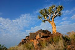 Quiver tree landscape. Desert landscape with granite rocks and a quiver tree (Aloe dichotoma), Namibia, southern Africa Stock Image