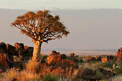 Quiver tree landscape. Desert landscape at sunrise with granite rocks and a quiver tree (Aloe dichotoma), Namibia Stock Images