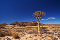 Quiver tree landscape. Quiver tree set against a backdrop of a typical Northern Cape landscape in South Africa Royalty Free Stock Photos
