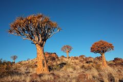 Quiver tree landscape Royalty Free Stock Photos