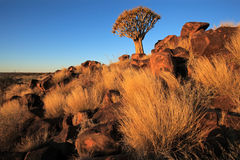 Quiver tree landscape Royalty Free Stock Photography
