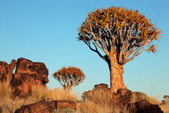 Quiver tree landscape Royalty Free Stock Photo