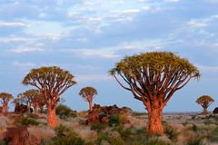 Quiver tree landscape, Namibia Stock Photography