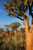 Quiver tree landscape, Namibia Royalty Free Stock Photography