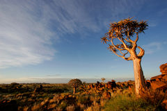 Quiver tree landscape, Namibia. Desert landscape at sunrise with granite rocks and a quiver tree (Aloe dichotoma), Namibia, southern Africa Royalty Free Stock Image