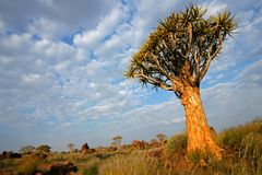 Quiver tree landscape, Namibia Stock Photos