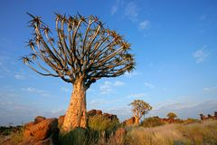 Quiver tree landscape, Namibia Royalty Free Stock Photos