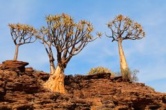 Quiver tree landscape Stock Photography