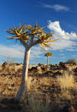 Quiver Tree in Namibia Royalty Free Stock Image