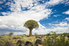 Quiver tree in Namibia. The quiver tree forest in Namibia near Keetsmanshoop has the highest pupulation of quiver trees in the world Stock Image