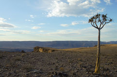 Quiver Tree - Namibia Royalty Free Stock Images