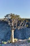 Quiver Tree - Namibia Stock Image