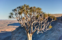 Quiver Tree - Namibia Stock Images