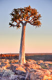 Quiver Tree - Namibia Royalty Free Stock Image