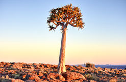 Quiver Tree - Namibia Stock Photos