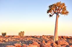 Quiver Tree - Namibia Royalty Free Stock Photo