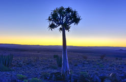 Quiver Tree - Namibia Royalty Free Stock Photography