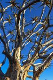 Quiver Tree - Aloidendron dichotomum Royalty Free Stock Photography