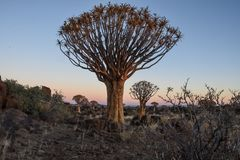 Quiver Tree - Aloidendron dichotomum Royalty Free Stock Images