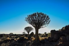 Quiver Tree - Aloidendron dichotomum Stock Photography