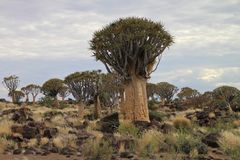 Quiver Tree in Namibia national park Stock Images