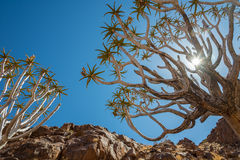 Quiver tree in namibia Royalty Free Stock Photo