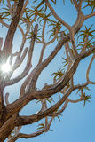 Quiver tree in namibia Royalty Free Stock Photography