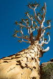 Quiver tree in namibia Stock Images
