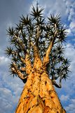 Quiver tree, Namibia, southern Africa Stock Images