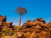 Quiver tree in namibian Giant's Playground Stock Images